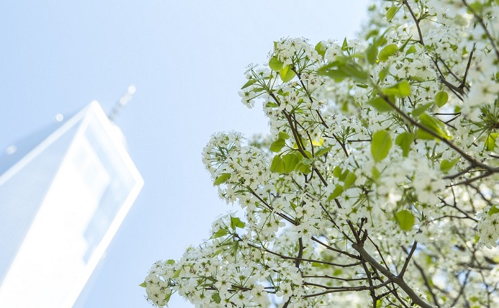 A view looking up toward a sunny sky shows One World Trade Center towering over the branches of blooming Callery pear tree with white flowers.